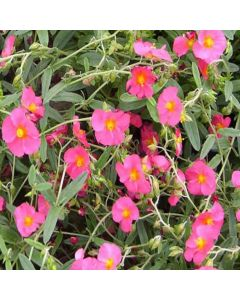 HELIANTHEMUM Bunbury