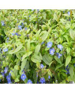 VERONICA peduncularis Georgia Blue