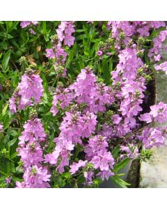 VERONICA Prostrata Lilac Time