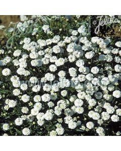 ACHILLEA ptarmica 'Pearl-Group' (The Pearl)