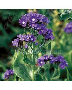 ANCHUSA azurea (Dropmore)