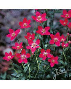 ANEMONE multifida 'Rubra' (Annabella Deep Pink)