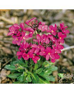 ARABIS blepharophylla Rote Sensation (Red Sensation)
