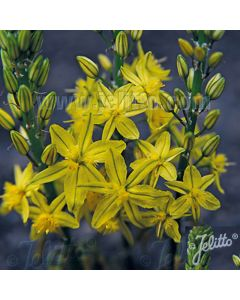 BULBINE frutescens Flowers