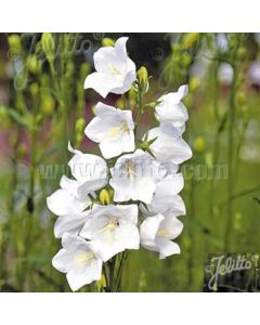 CAMPANULA White Bells