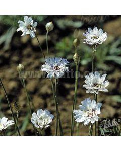 CATANANCHE caerulea 'Alba'