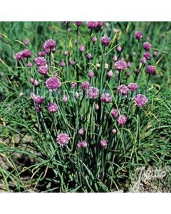 CHIVES Extra Fine Leaf