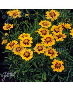 COREOPSIS grandiflora 'Heliot'