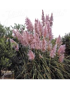 CORTADERIA selloana 'Rosea' (Pink Feather)