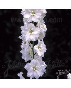 DELPHINIUM Pure White