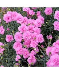 Dianthus Whatfield Cancan