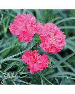 DIANTHUS caryophyllus fl. pl. 'Grenadin Pink'