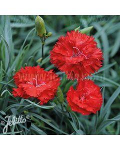 DIANTHUS caryophyllus fl. pl. 'Grenadin Scarlet'