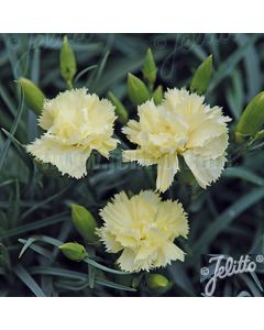 DIANTHUS caryophyllus fl. pl. 'Grenadin Yellow'