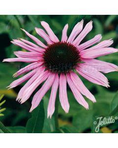 ECHINACEA purpurea Primadonna Deep Pink