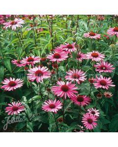 ECHINACEA purpurea Rubinstern (Ruby Star)