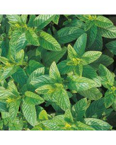 MINT Garden (Mentha spicata)