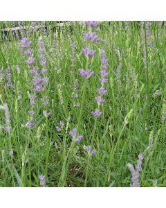LAVENDULA angustifolia Royal Purple