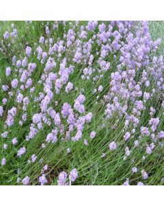 LAVENDER angustifolia Ashdown Forest