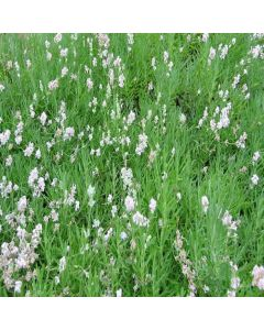 LAVENDULA angustifolia Jean Davis