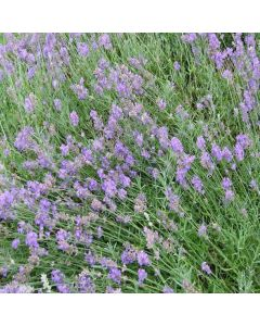 LAVENDULA angustifolia Princess Blue