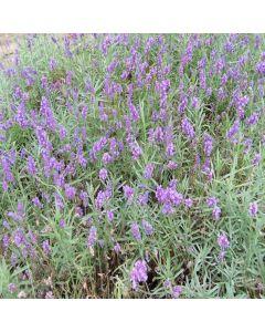 LAVENDULA angustifolia Twickle Purple