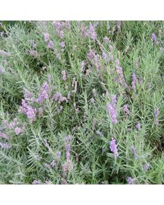 LAVENDULA augustifolia Lodden Blue