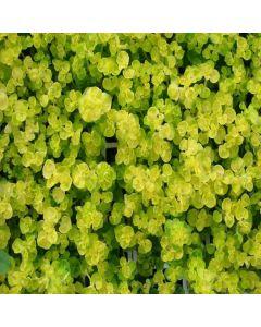 MARJORAM Golden (Origanum vulgare Aureum)