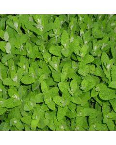 Mint Applemint (Mentha suaveolens)
