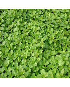 MINT Basil (Mentha x piperata f citrata basil)