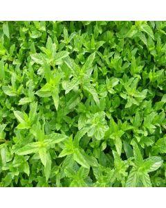 MINT Curly (Mentha spicata Crispa)