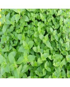 MINT Lemon (Mentha x piperata f. citrata)