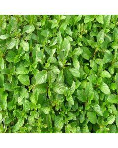 MINT Lime (Mentha x piperata f. citrata 'lime')