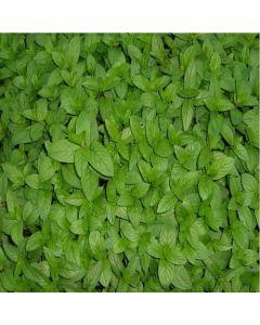 MINT Moroccan (Mentha spicata var. crispa morrocan)