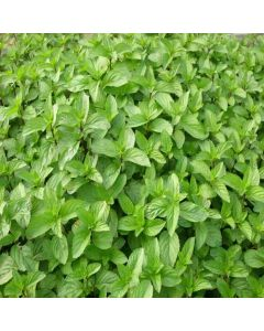 MINT Red (Mentha x smithiana)