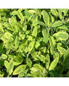 SAGE Golden 31710 (Salvia officinalis Icterina)