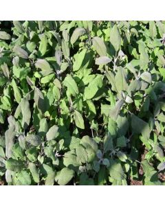 SAGE Purple (Salvia officinalis Purpurascens)