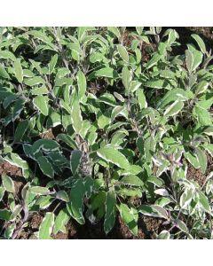 SAGE Tricolor (Salvia officinalis 'Tricolor')