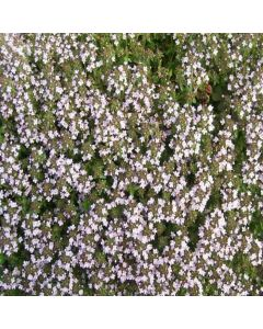 THYMUS herba-barona (Caraway Scented Thyme)