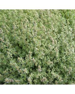 THYMUS x citriodorus Silver Queen