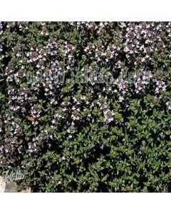 Thyme vulgaris Standard Winter (Common Garden Thyme)