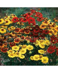 HELENIUM autumnale Rotgold-Hybr. (Red & Gold)