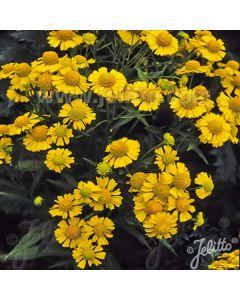 HELENIUM autumnale 'Helena Gold'