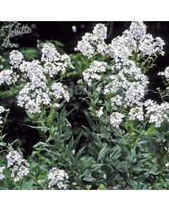 HESPERIS matronalis var. albiflora