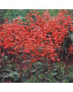 HEUCHERA sanguinea Leuchtkafer (Firefly)