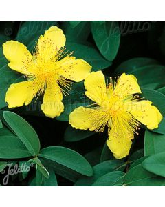 HYPERICUM calycinum (Rose of Sharon) Flowers