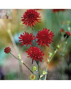 KNAUTIA macedonica (Red Knight, Red Cherries)