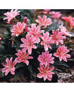 LEWISIA Longipetala Hybr. 'Little Plum'