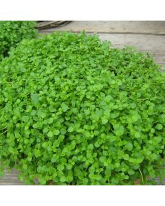 Mint Corsican