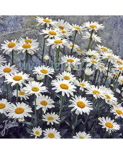 CHRYSANTHEMUM (Leucanthemum) maximum nanus Silver Princess